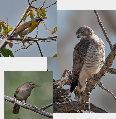 Collage of Yellow-bellied Chat, House Wren and Cooper's Hawk