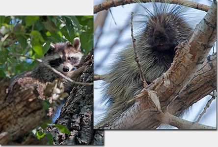 Northern Racoon and Procupine in trees