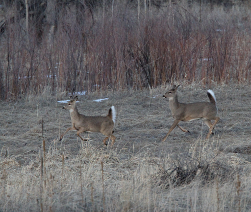 White-tailed Deer Run for Cover
